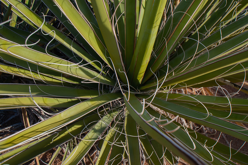 Mojave Yucca (Yucca schidigera), Willow Hole Trail, Joshua Tree National Park, California, US