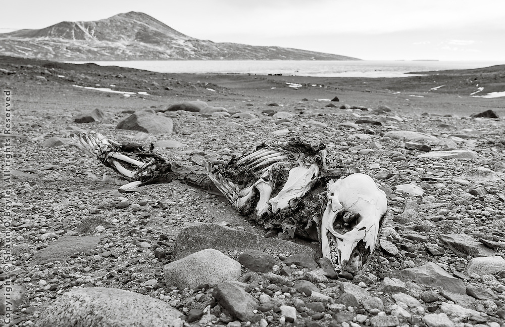 Dessicated Weddell Seal carcass above New Harbor camp. Some of these carcasses have been carbon dated at several thousand years old.
