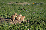 Prairie dogs in Theodore Roosevelt National Park, North Dakota, USA