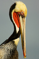 A portrait of a brown pelican (Pelecanus occidentalis)..San Diego, California, USA.