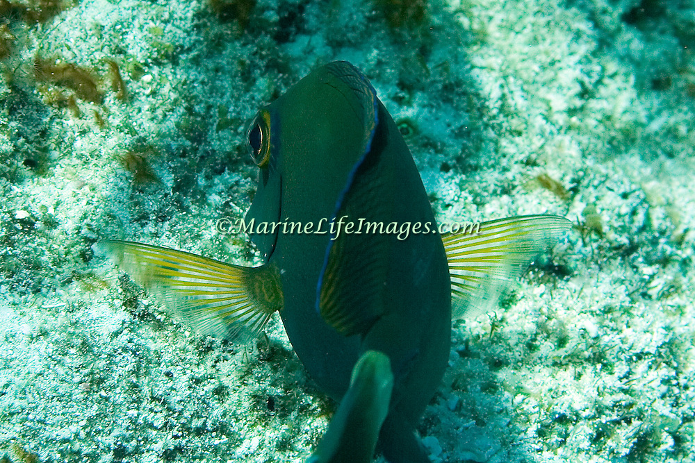Ocean Surgeonfish have clear pectoral fins with yellowish rays; picture taken Key Largo, FL.