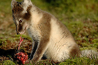 Arctic fox ( Alopex lagopus)<br /> Trygghamna<br /> Svalbard<br /> Norway