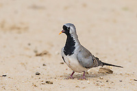 Male Namaqua Dove, Kgalagadi Transfrontier Park, Northern Cape, South Africa