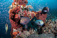 "Profusion of Reef Fishes<br /> <br /> Shot at Cape Kri, Raja Ampat Islands, W. Papua Province, Indonesia<br /> <br /> Cape Kri is one of the ""fishiest"" dives in the world.  Given its protection in the Raja Ampat Marine Protected Area, as well as its proximity to a resort that does a great job of ""policing"" the adjacent areas, this reef is among the healthiest in the Coral Triangle."