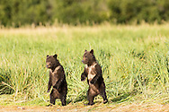 Brown bear (Ursus arctos) cubs stand on their hind legs as they watch their mother fish for salmon at Geographic Harbor in Katmai National Park in Southwestern Alaska. Summer. Afternoon.