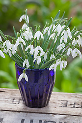 Snowdrops in a blue glass. Galanthus nivalis