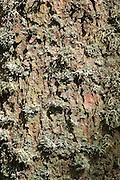 Scots pine (Pinus sylvestris) bark and lichen, near Longformacus, Scottish Borders, Scotland