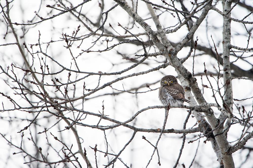 Northern Pygmy-Owl (Glaucidium gnoma), Missoula, Montana