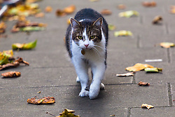 London, October 17 2017.Larry the cat prowls Downing Street Downing Street. © Paul Davey