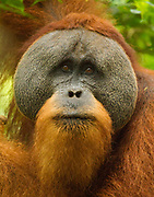 A worried looking Sumatran Orangutan in Gunung Leuser National Park
