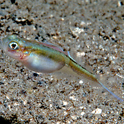 Banner Goby inhabit soft bottoms of fine sand, sitl, mud and powdery calcareous material  in or around seagrasses in Florida, Bahamas and NW Caribbean'; picture taken Roatan, Honduras.