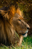 Male lion, Lion Park, near Johannesburg, South Africa.
