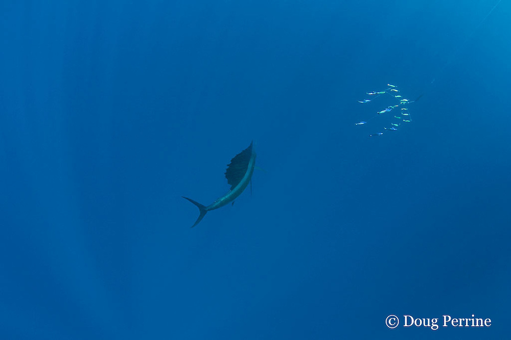 Atlantic sailfish, Istiophorus albicans ( considered by some to be a single species worldwide, Istiophorus platypterus ), checks out dredge lure array, off Yucatan Peninsula near Contoy Island and Isla Mujeres, Mexico ( Caribbean Sea )