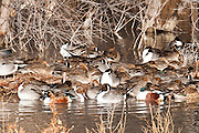 Northern Pintails, Anas acuta, Northern Shovelers, Anas clypeata, Bosque del Apache NWR, New Mexico