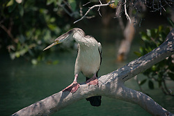 An Australasian Darter (Anhinga novaehollandiae)  watching for fish in the mangroves in Dampier Creek, Broome.  Darters weigh around 2.6 kg with a wing span of 85-90 cm.  More commonly found in freshwater environments, they are also found in sheltered saltwater systems with overhanging vegetation and low branches.