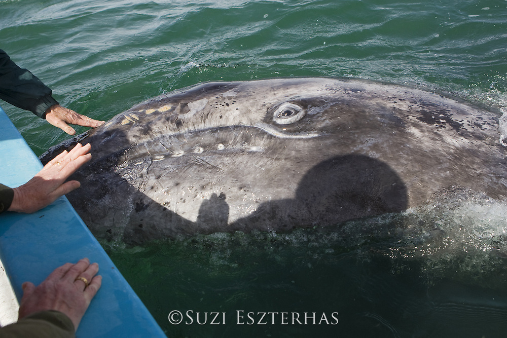 Gray Whale <br /> Eschrichtius robustus<br /> Whale-watchers touching friendly 3 week old calf<br /> San Ignacio Lagoon, Baja California, Mexico