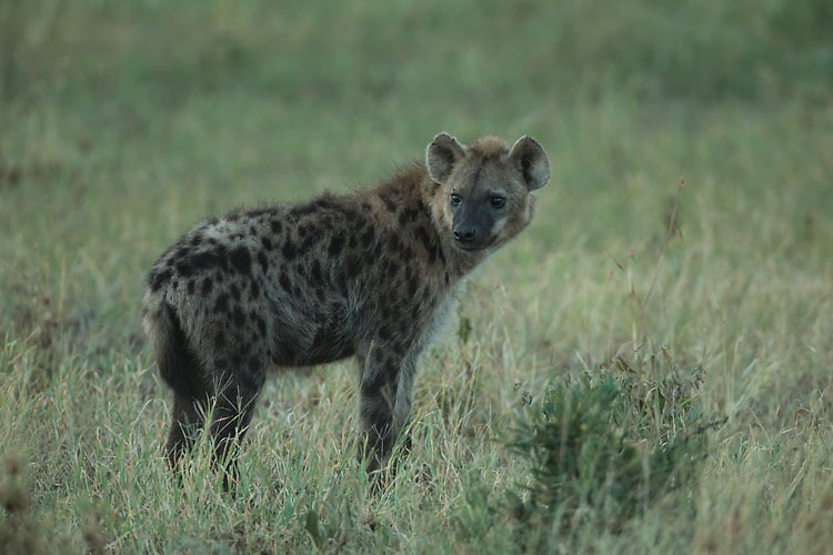 Spotted Hyena in Ngorongoro Crater.