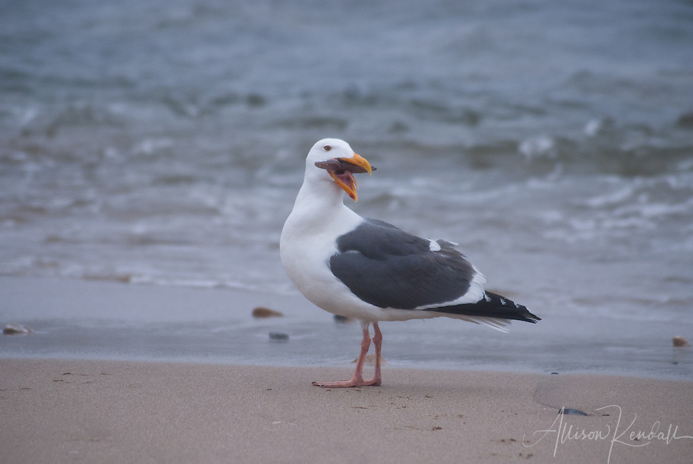 A seagull and a starfish in a fight to the death...