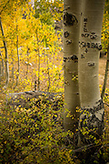 White Birch Trees at Fall at Zion National Park Utah