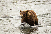 An adult Brown Bear searches for Sockeye Salmon at Brooks Falls in Katmai National Park and Preserve September 15, 2019 near King Salmon, Alaska. The park spans the worlds largest salmon run with nearly 62 million salmon migrating through the streams which feeds some of the largest bears in the world.