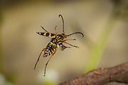 Zebra Flower Longhorn Beetle (Typocerus zebra) in flight, Cherokee National Forest, Tennessee.
