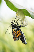 As the shell bursts open and a monarch butterfly emerges, it takes several hours before it can fly because its wings are tiny, wet and wrinkly. The butterfly pumps body fluid, called hemolymph, into the wings to make them grow and hardened for flight.
