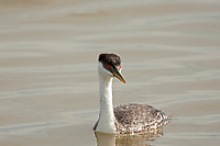 A Western Grebe adult is a seabird that dives underwater to catch minnows and even larger fish to eat.