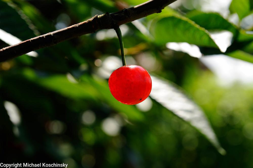 Weichsel cherry, fruitfarm Eichenberger, Uhwiesen, Switzerland
