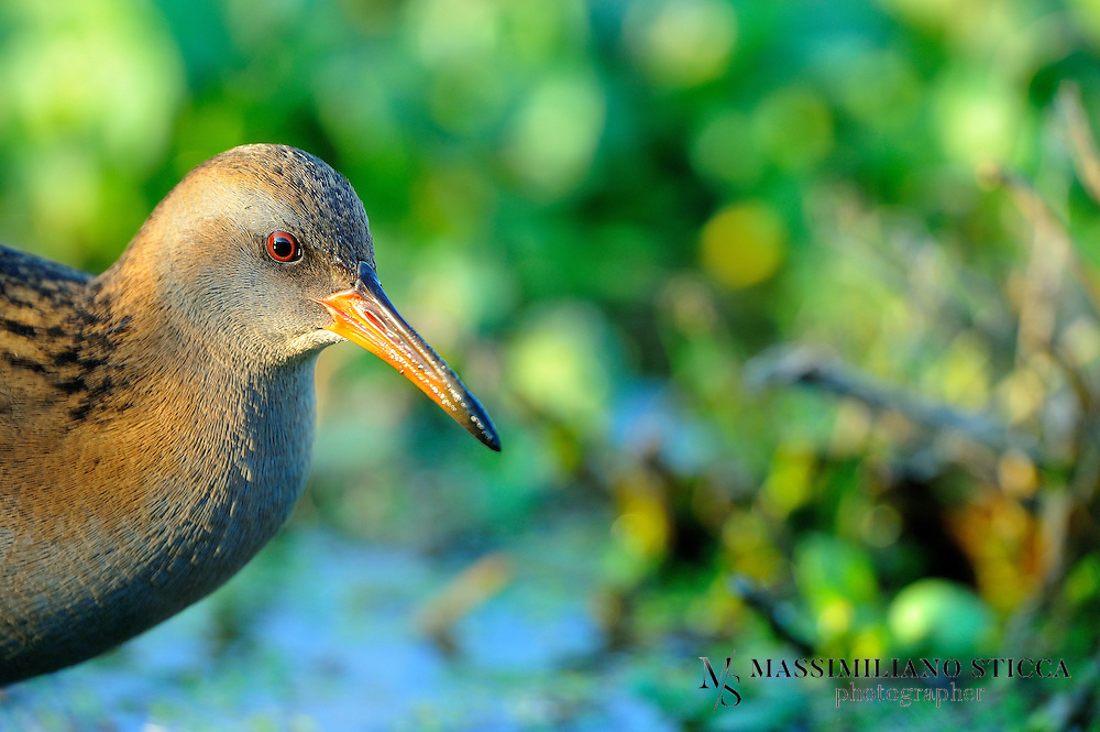 The Water Rail (Rallus aquaticus) is a bird of the rail family which breeds in well-vegetated wetlands across Europe, Asia and North Africa. Northern and eastern populations are migratory, but this species is a permanent resident in the warmer parts of its breeding range. The adult is 23&ndash;28 cm (9&ndash;11 in) long, and, like other rails, has a body that is flattened laterally to allow it easier passage through the reed beds it inhabits. It has mainly brown upperparts and blue-grey underparts, black barring on the flanks, long toes, a short tail and a long reddish bill. The eastern subspecies, R. a. indicus, has distinctive markings and a call that is very different from the pig-like squeal of the western races, and is sometimes split as a separate species. Immature birds are generally similar in appearance to the adults, but the blue-grey in the plumage is replaced by buff. The downy chicks are black, as with all rails.<br />