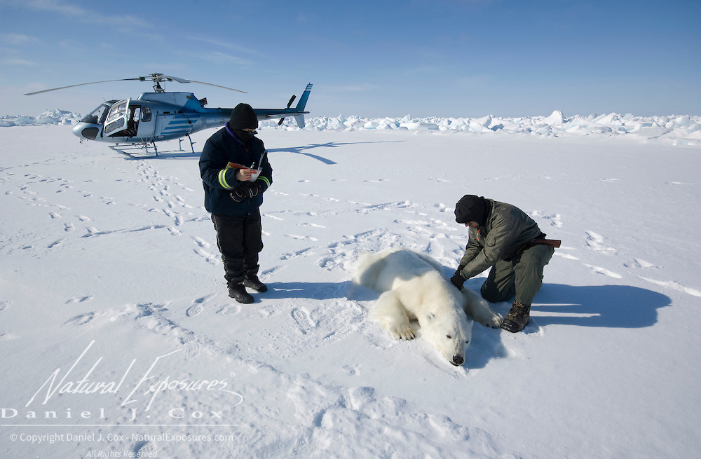 Geoff York, USGS biologist, and Katrina Knott, research assistant, prepare a polar bear to start doing their research.