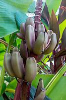 Banana plant, Cost Rica