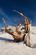 The twisted claw of a bristlecone pine juts from fresh snow, White Mountains, CA