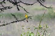 Africa, Tanzania, Lake Manyara National Park, Little Bee-eater, Merops pusillus perched on a brach