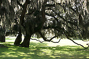 Spanish moss covered, ancient oak trees at Jekyll Island Club.