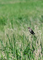 Female red-winged blackbird (Agelaius phoeniceus) out on the prairie