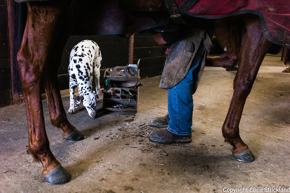 A farrier puts new shoes on racehorse Just a Gin. The dalmation is waiting to scavenge the off cuts from the hooves.
