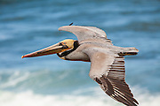 Brown Pelican (Pelecanus occidentalis)-Soaring at La Jolla Cove, San Diego, CA
