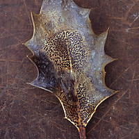 Dried brown leaf of Holly or Ilex aquifolium tree with its sharp thorns and black fungal spots  lying on scuffed leather