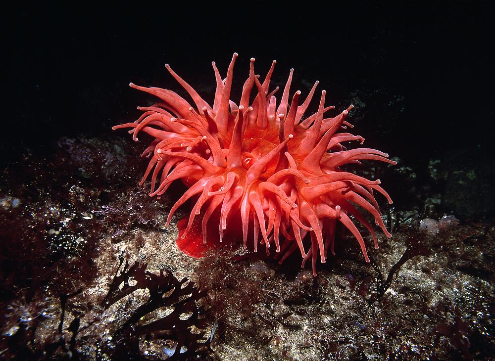 Sea Anemone (Urticina eques).   Location: Norway