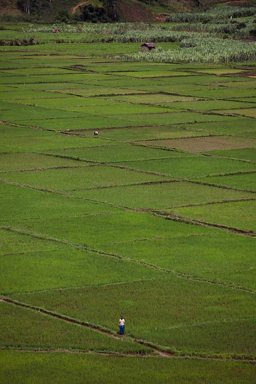 Rice fields, Rwanda