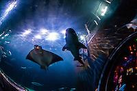 Sharks and manta rays, Aquarium of the Bay, Fisherman's Wharf, San Francisco, California USA