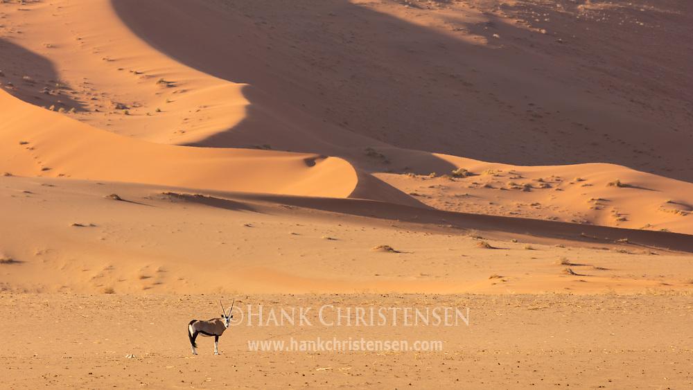 A gemsbok walks in front of a massive sand dune, Namib-Naukluft National Park, Namibia.