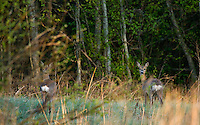 Roe deer, (Capreolus capreolus), Matsalu Nature Reserve, Estonia