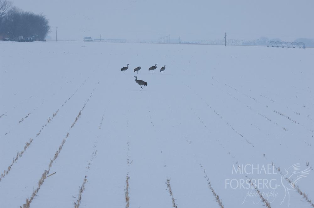 Platte River valley, Nebraska<br /> <br /> Migrating sandhill cranes standing in field of corn stubble day after large blizzard.