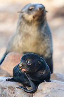 A Cape Fur Seal pup bleats while its mother watches in the background, Namaqua National Park, South Africa
