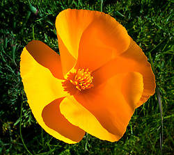 Mare Island Poppies in Bloom