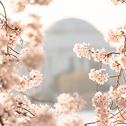 WASHINGTON DC--Washington DC's famous cherry blossoms, and gift from Japan in 1912, in full bloom around the Tidal Basin. The peak bloom each year draws hundreds of thousands of tourists to Washington DC each spring.
