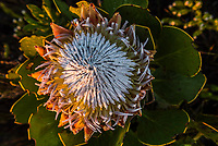 King Protea, Heuningberg Nature Reserve, Bredasdorp, South Africa