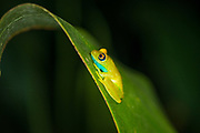 Green Bright-eyed Frog (Boophis viridis),  native to Madagascar