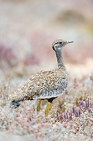 Female Southern Black Korhaan, Namaqua National Park, Northern Cape, South Africa,